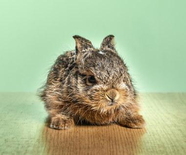 Jak zrozumieć królika?