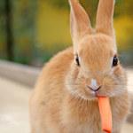 Jak zwalczyć pchły u królika?