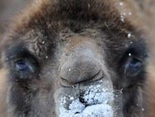 Jak zwierzęta w zoo radzą sobie z zimą?
