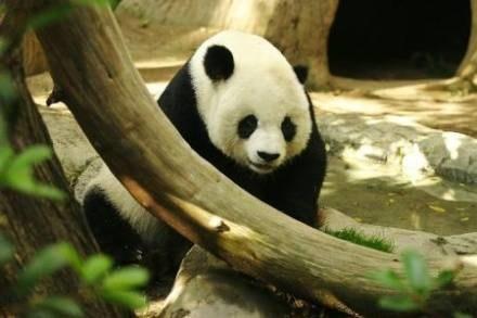 Jaka jest panda każdy widzi /AFP