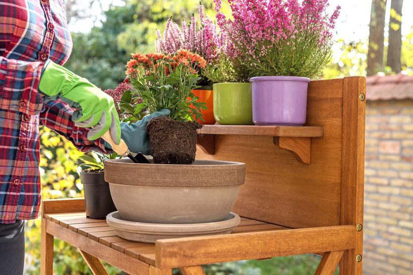 Jakie gatunki kwiatów wybrać na jesienny balkon? /123RF/PICSEL