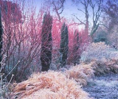 Jakie krzewy ozdobne do ogrodu zimą?