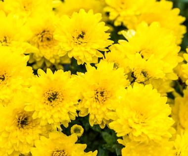 Jakie kwiaty kupować późnią jesienią i zimą: Wskazówki i pielęgnacja