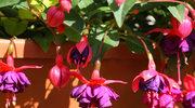 Jakie kwiaty na balkon i do ogrodu?