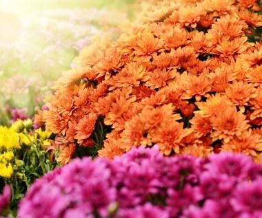 Jakie kwiaty są odporne na chłody?