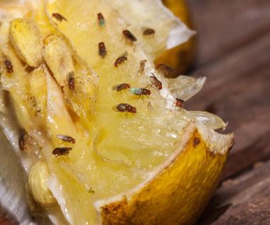 Jakie produkty najbardziej przyciągają muszki owocówki?