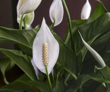 Jakie rośliny oczyszczą powietrze w domu?