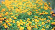 Jakie rośliny odstraszają szkodniki
