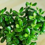 Jakie właściwości lecznicze posiada grubosz – drzewko szczęścia?
