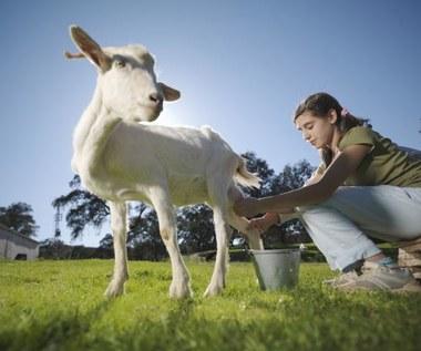 Jakie właściwości posiada kozie mleko?