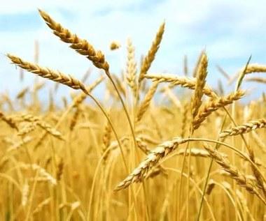 Jakie właściwości posiada olej z kiełków pszenicy?