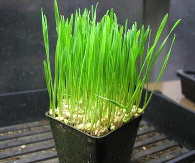 Jakie właściwości posiada zielona pszenica?
