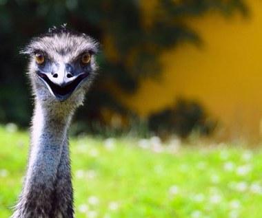 Jakie właściwości zdrowotne posiada olej z emu?