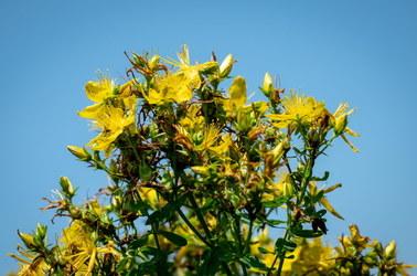 Jakie zioła zbieramy w lipcu? Czas na dziurawiec