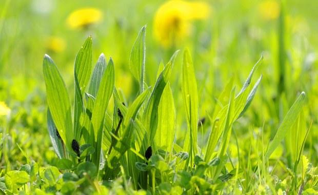 Jakie zioła zbieramy w lipcu? Poznaj babkę lancetowatą