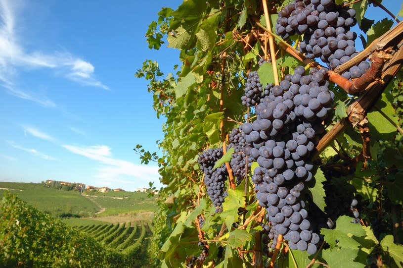 Jakość wina zależy od wielu czynników /123RF/PICSEL