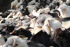 Jamne: Spłoszone owce podczas redyku