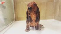 Jamnik, który uwielbia brać prysznic