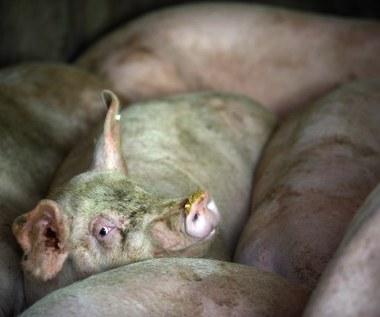 Japończycy będą hodować świnie z ludzkimi narządami