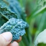 Jarmuż: Zielona skarbnica zdrowia