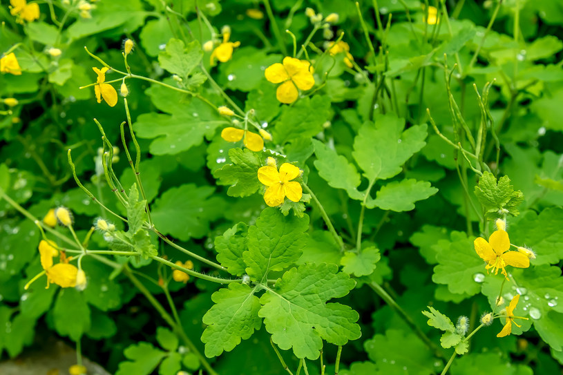Jaskółcze ziele od wieków jest stosowane w medycynie ludowej w leczeniu kurzajek /123RF/PICSEL