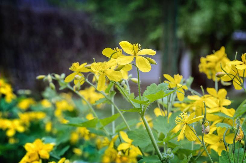 Jaskółcze ziele /©123RF/PICSEL
