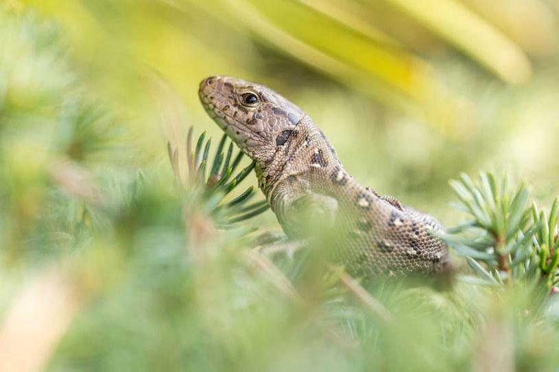 Jaszczurka zwinka /©123RF/PICSEL