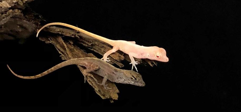Jaszczurki z gatunku Anolis sagrei w wersji zwyczajnej i zmodyfikowanej /UGA /Materiały prasowe