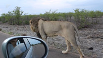 Jechali tuż obok lwa. Nagle on...