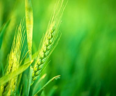 Jęczmień czy pszenica? Co bardziej służy zdrowiu?