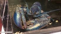 Jeden na dwa miliony? Rzadki błękitny homar spotkany w… restauracji z owocami morza