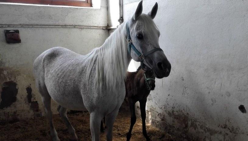 Jeden z koni w stadninie w Michałowie /Tomasz Staniszewski /RMF FM