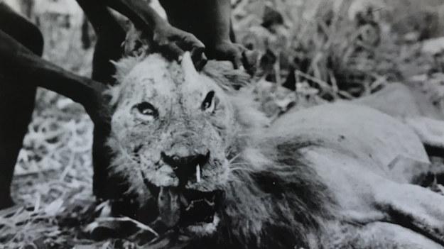Jeden z lwów, które po zranieniu przez jeżozwierza w 1965 roku zabijał ludzi. Widać wbity przez nos kolec /© Julian Kerbis Peterhans, photo by John Perrott /Materiały prasowe