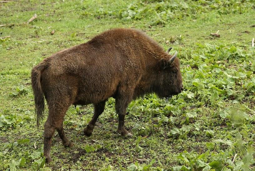 Jeden z mężczyzn tłumaczył, że pomylił żubra z dzikiem; zdj. ilustracyjne /MONKPRESS /East News
