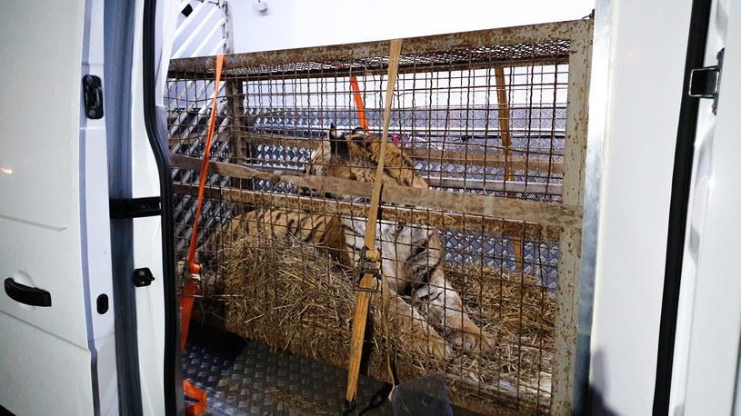 Jeden z tygrysów z transportu do Rosji /ZOO Poznań /PAP