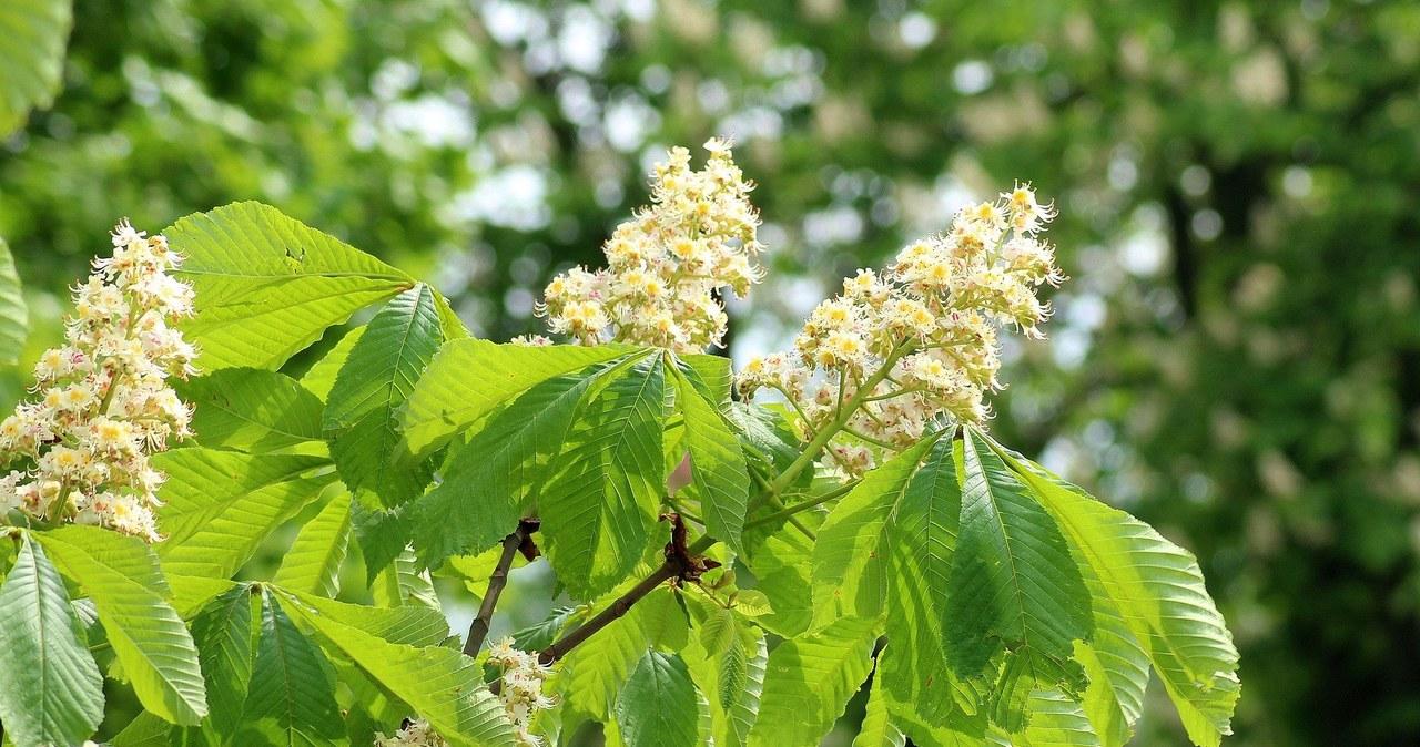 Jednego zabraknie w tym roku maturzystom – kwitnących kasztanów