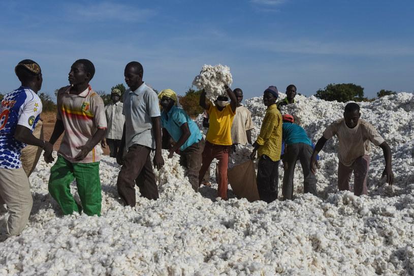 Jednym z najczęściej modyfikowanych gatunków roślin jest bawełna. Na zdjęciu: tegoroczne zbiory bawełny w Mali /Nicolas Remene / Le Pictorium/Le Pictorium /East News