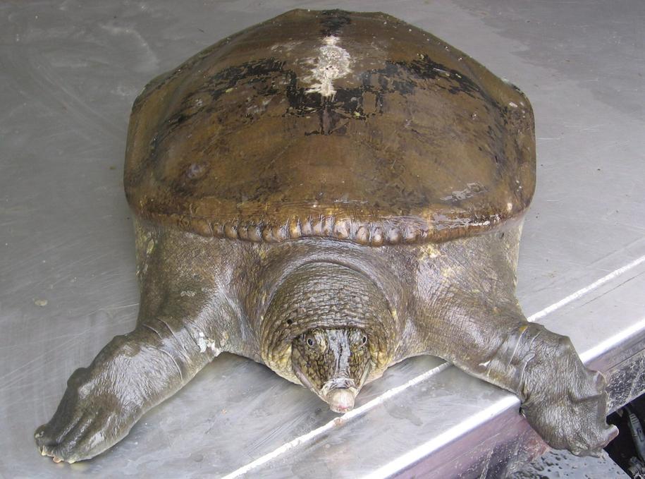 Jedyna znana na świecie samica rzadkiego żółwiaka szanghajskiego zmarła w zoo w Suzhou, na wschodzie Chin /Handout /PAP/EPA