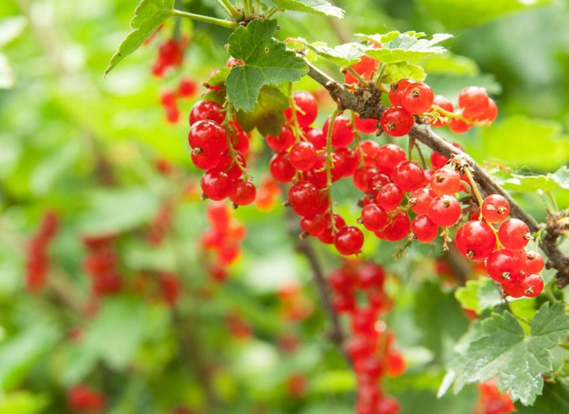 Jedz porzeczki! Te owoce zawierają tak cenne dla nas polifenole /123RF/PICSEL