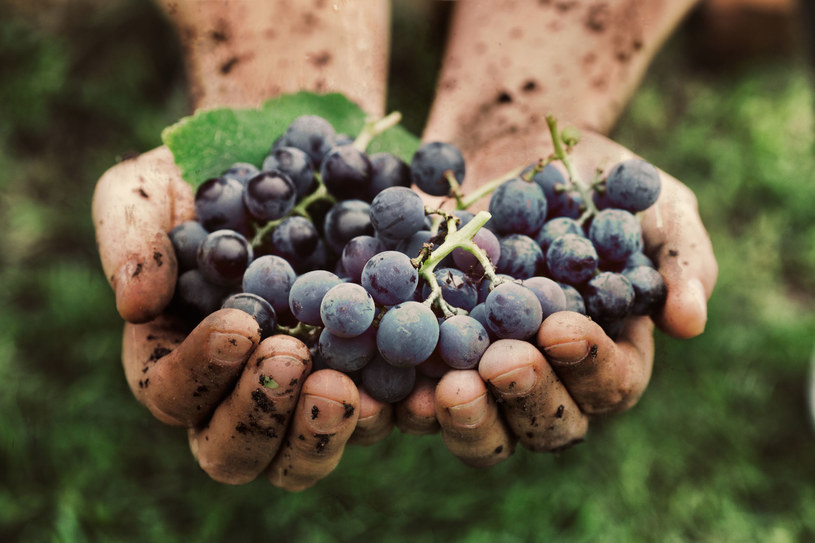 Jedz przynajmniej trzy porcje dziennie owoców z ciemną skórką /123RF/PICSEL