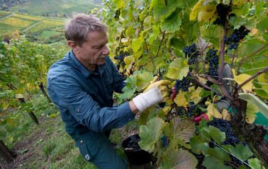 Jedziesz na winobranie do Francji? Przeczytaj!