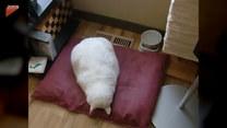 Jego kot śpi w bardzo dość nietypowy sposób
