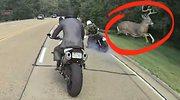 Jeleń kontra motocyklista. Nieoczekiwane drogowe starcie
