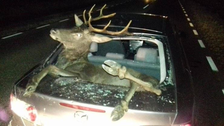 Jeleń odbił się od auta i wpadł do bagażnika przez tylną szybę /Policja