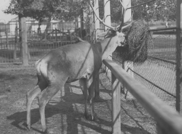 Jeleń podarowany warszawskiemu zoo przez Prezydenta RP Ignacego Mościckiego. /Z archiwum Narodowego Archiwum Cyfrowego