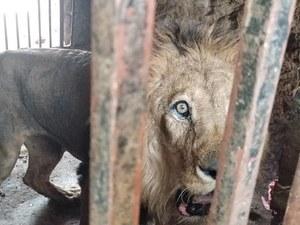 Jemen: Lwy umierają z głodu w zoo