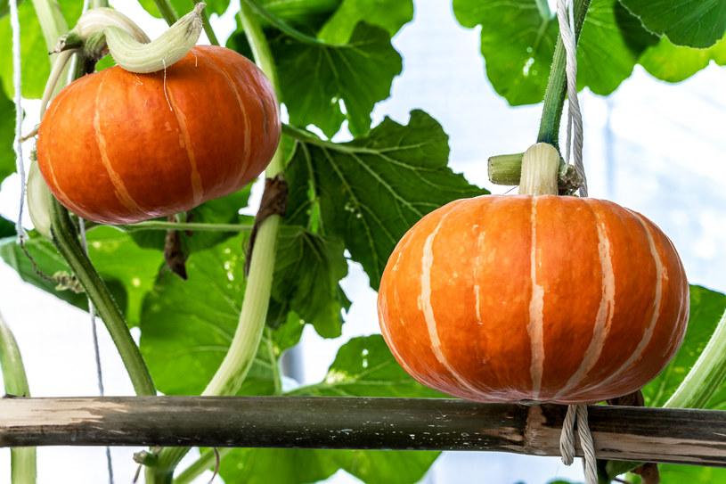 Jesienią dynie wspaniale prezentują się na balkonach, tarasach czy w ogrodach, pokrywając altany lub ogrodzenia /123RF/PICSEL