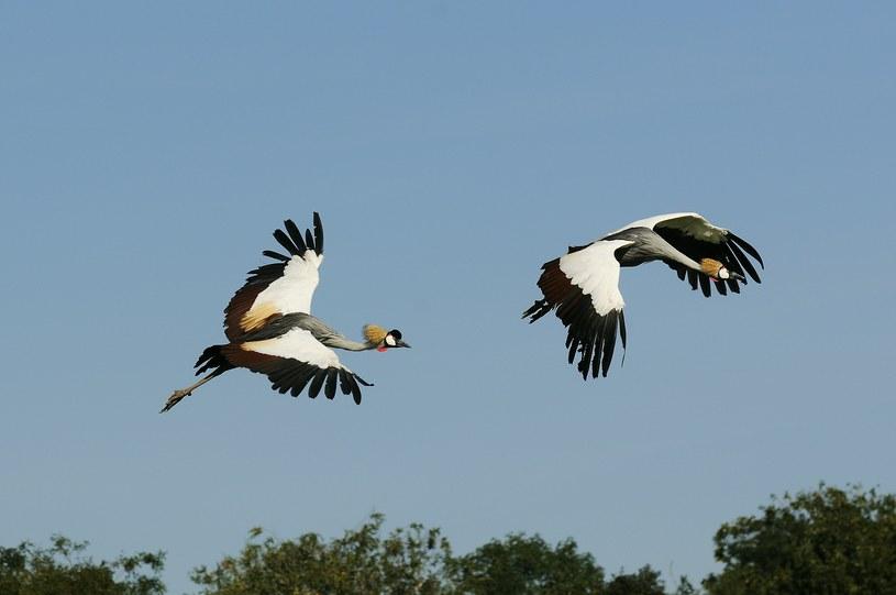Jesienna migracja ptaków rozpoczęta /123RF/PICSEL