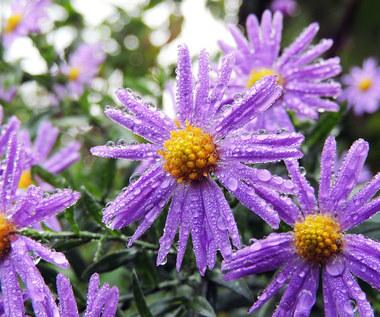 Jesienne kwiaty w ogrodzie: Najbardziej efektowne egzemplarze