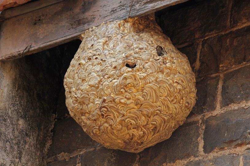 Jeśli będziemy blisko gniazda nie prowokujmy owadów, bo mogą nas zaatakować. /123RF/PICSEL